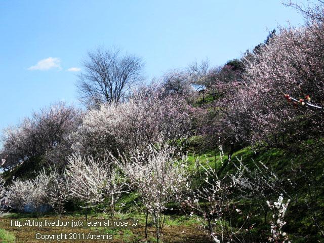 16.3.20.3 神代梅の里公園  (137)