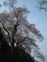 樹齢450年