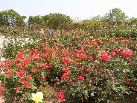 宮城県のバラ園とバラまつり情報2019 | バラ百科
