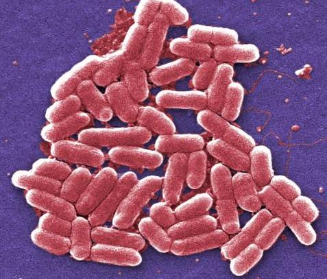 腸内細菌はどのように食物繊維を分解しているのか:科学ニュースの森