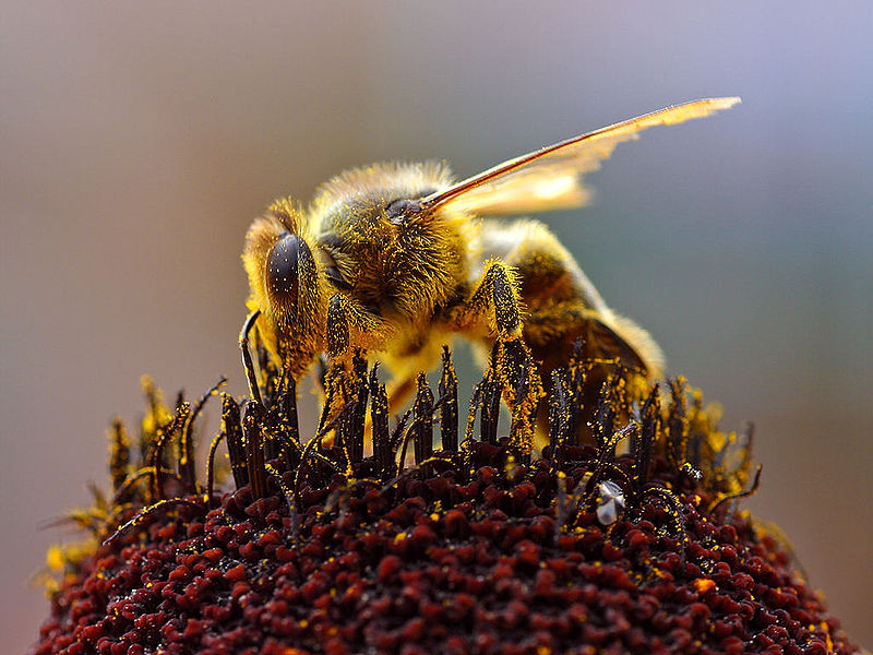 ミツバチは殺虫剤によって数を減らしているのか:科学ニュースの森