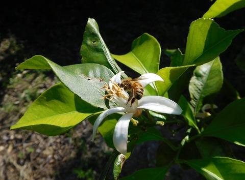 蜜蜂とミカンの花3005