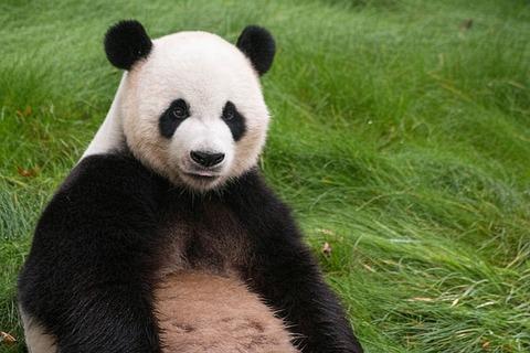panda-1679122_640