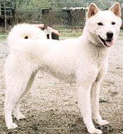 Korean_Jindo_Dog