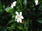 庭のくちなしの花(2)20090605