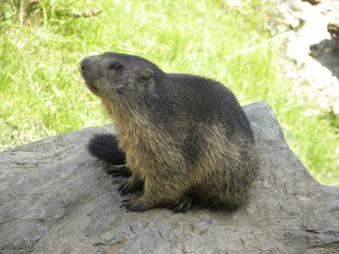 marmot-2101441_1280