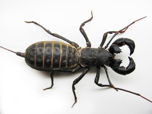 0de76cea 世界三大奇虫 サソリモドキ(ビネガロン)