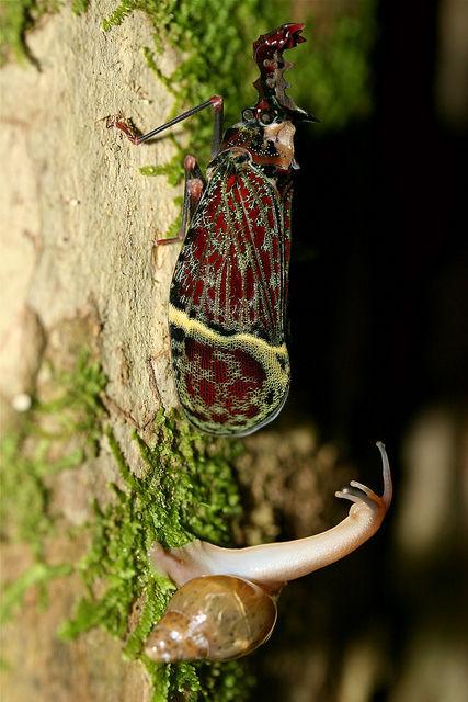 Phrictus quinquepartitus写真06