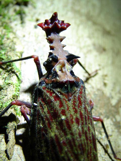 Phrictus quinquepartitus写真04