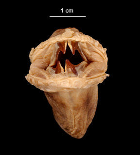 Eulagisca gigantea08