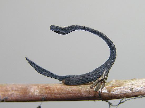 ミカヅキツノゼミ02