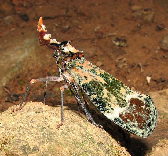 Phrictus quinquepartitus写真02