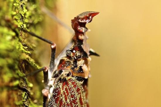 Phrictus quinquepartitus写真01