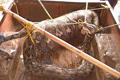 巨大ニシキヘビ写真01