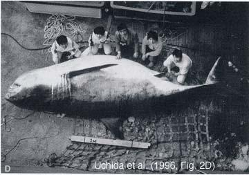 ホオジロザメ画像003