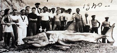 ホオジロザメ画像002