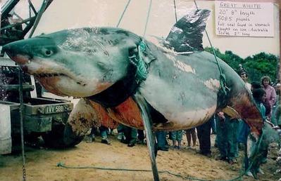 ホオジロザメ画像004