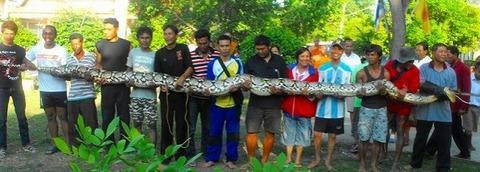 巨大ニシキヘビ写真13