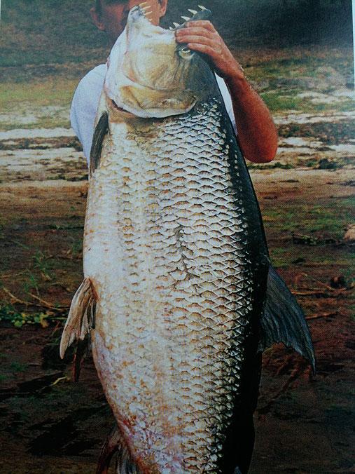 ゴライアス・タイガーフィッシュ写真11 これはデカイ。「ゴライアス(ゴリアテ)」とは旧約聖書の巨
