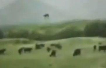 牛が誘拐される写真01