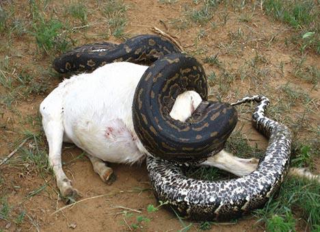 巨大ニシキヘビ写真10
