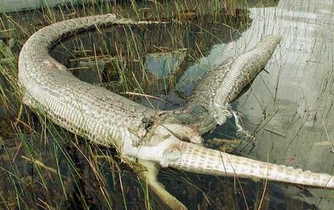 巨大ニシキヘビ写真17