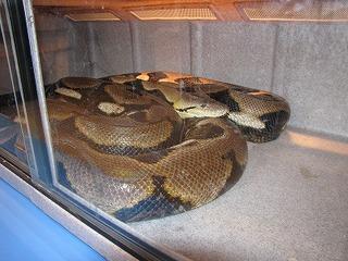 巨大ニシキヘビ写真15