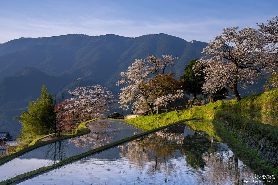 三多気の桜_0412