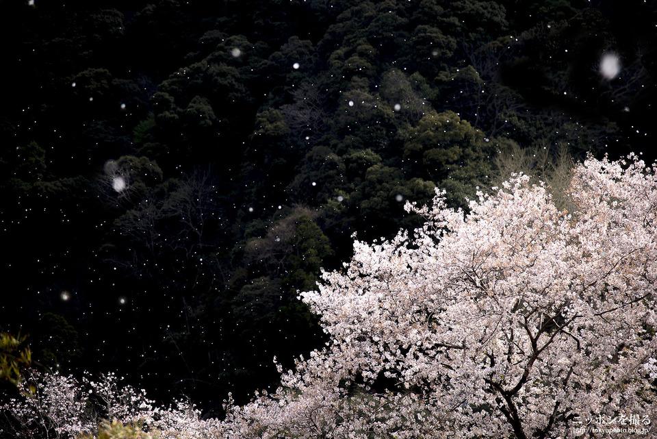 奈良県_桜井市_長谷寺_桜吹雪