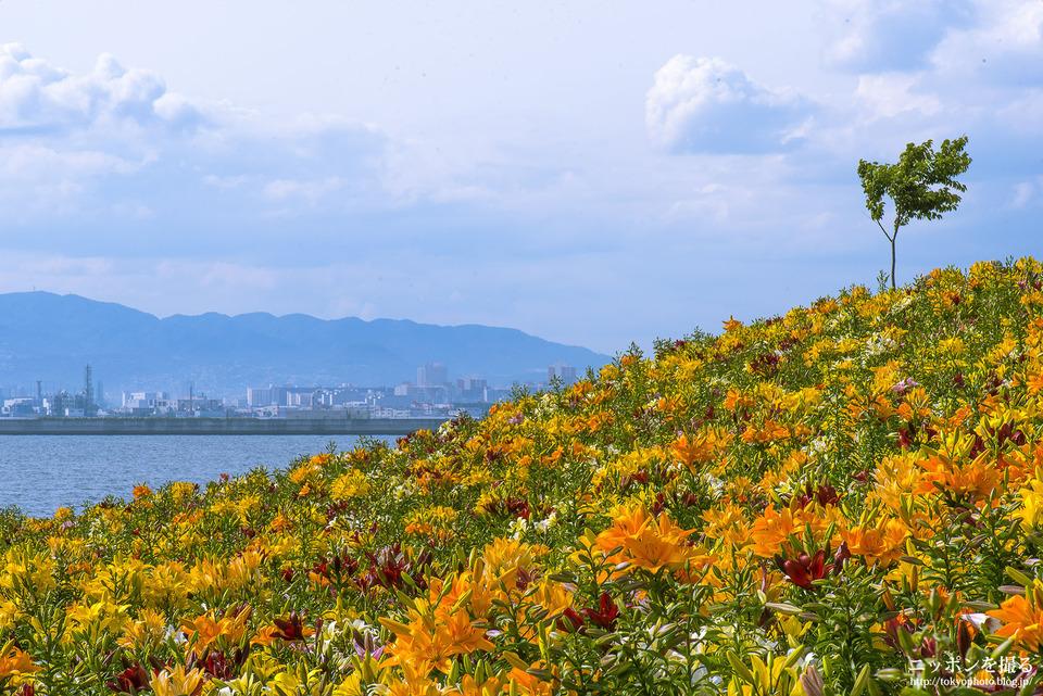 大阪の写真撮影スポット_舞洲ゆり園