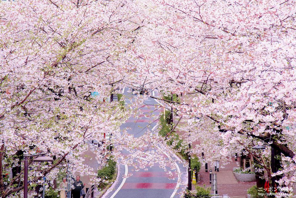 渋谷160405_0085_桜