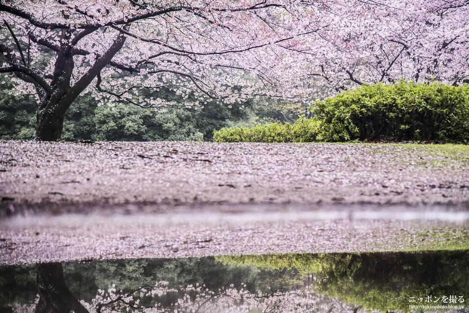 光が丘_160407_0312_光が丘公園_桜