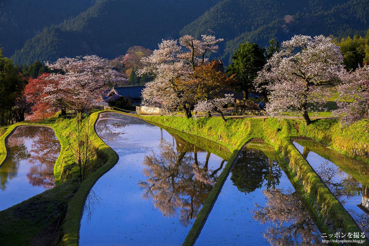 ニッポンを撮る                           桜が咲く前の準備...三重の桜名所を8ヶ所紹介します!                         コメント