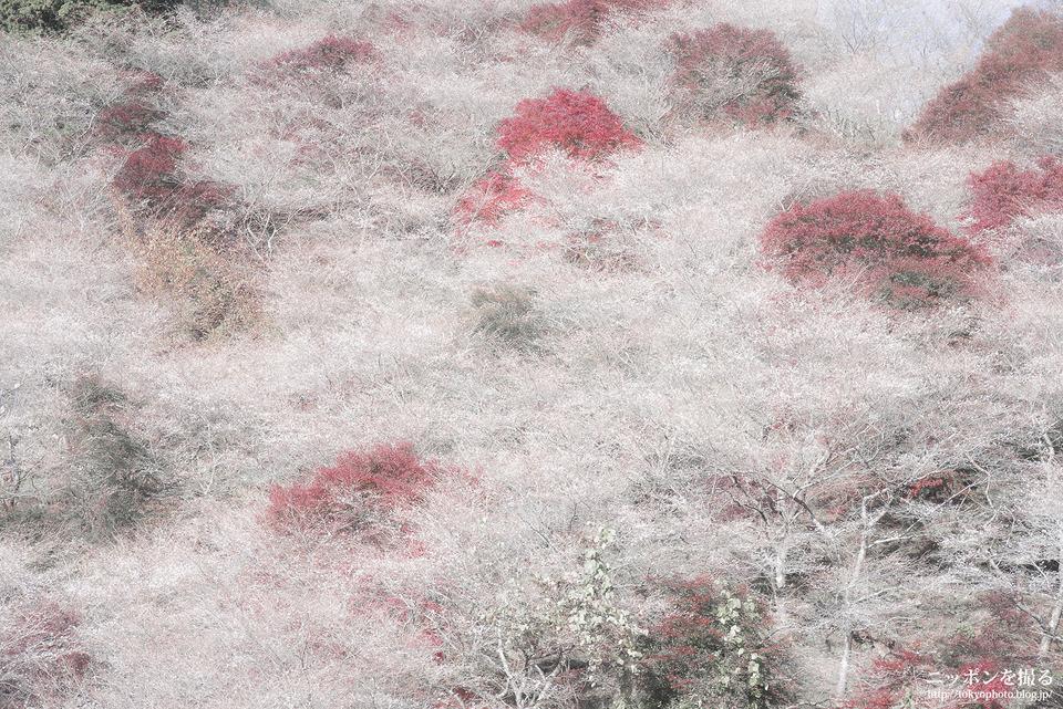 愛知県_豊田市_川見四季桜の里_171119_0233