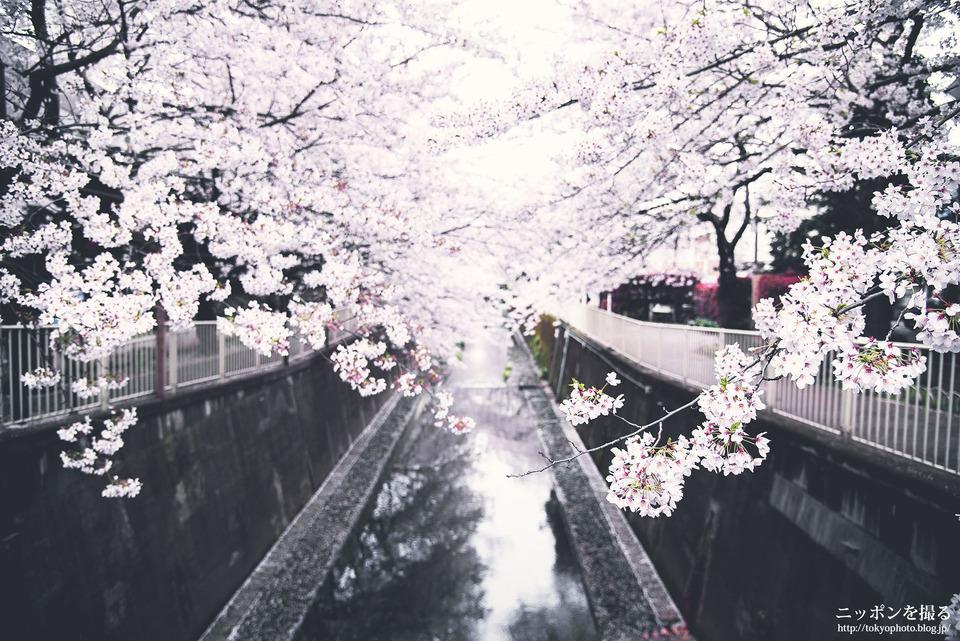 高井戸160405_0310_桜