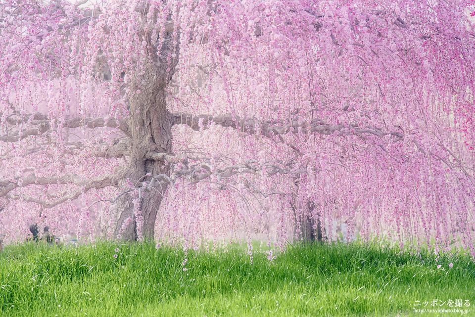 鈴鹿の森庭園_しだれ梅の絶景