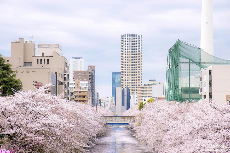 目黒_160408_0102_目黒川_桜