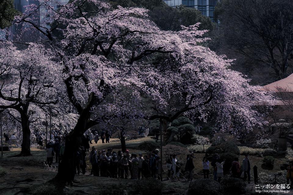 小石川後楽園_桜_0002