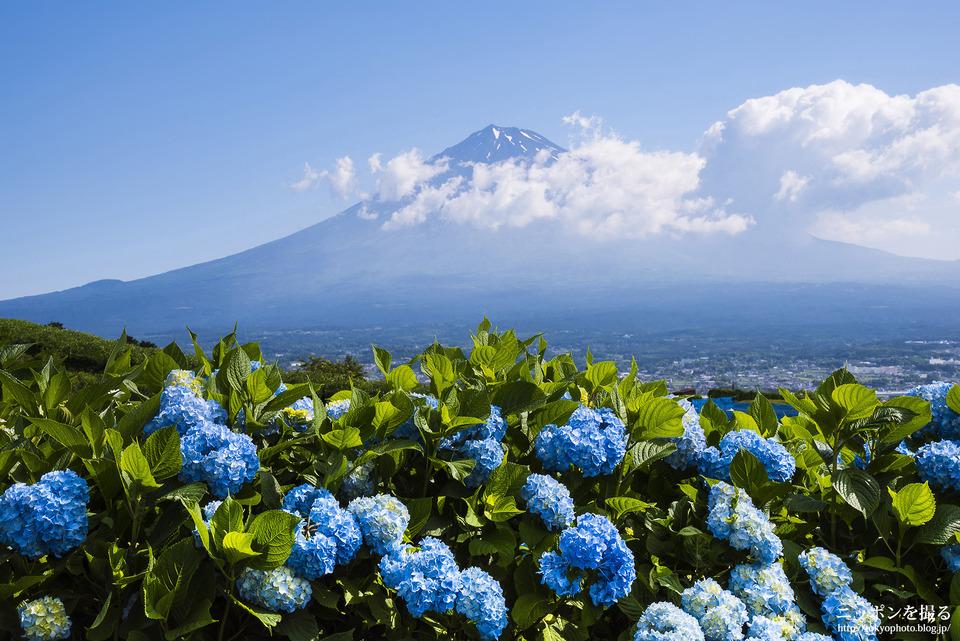 富士山とアジサイ_6月初旬_0149