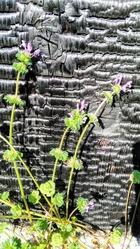 壁際に咲く花