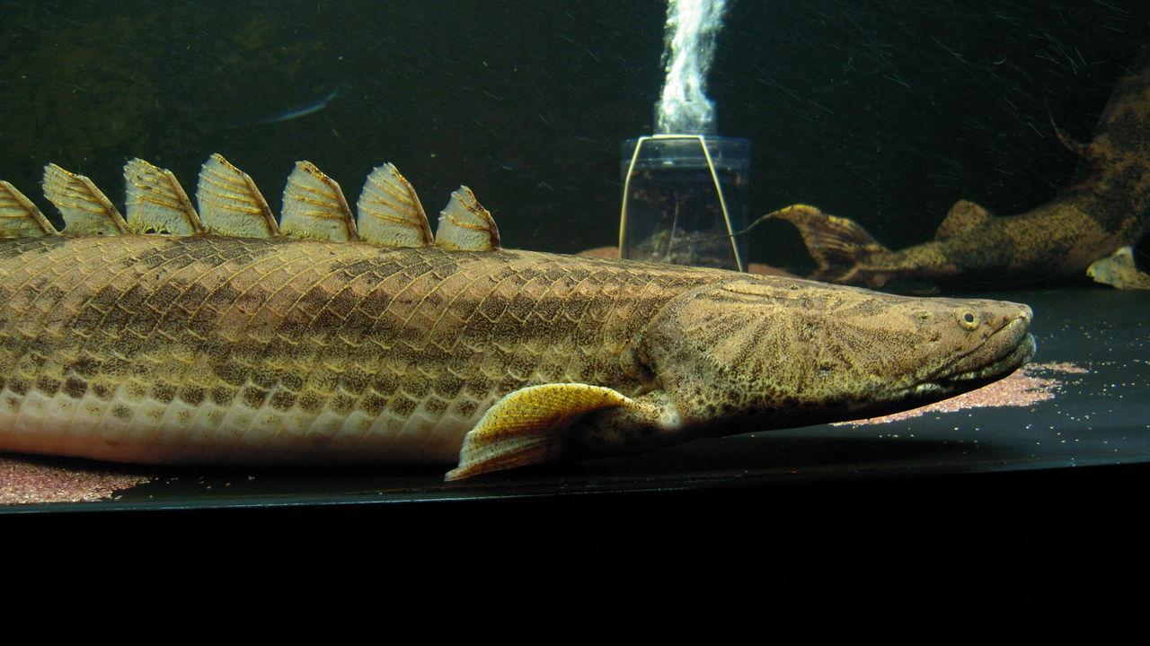 アクアワーク ~古代魚ポリプテ...
