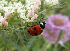 ladybug-368861__180