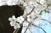 110413 桜と木