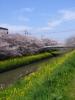 100411sakura(Yellow,Pink,Green,Blue) 菜の花と桜と川と橋と青空