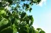110705 Leaf green
