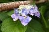 110627 雨上がり紫陽花