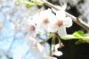 110413 やわらかく桜 (+1.3)