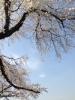 130328 桜と青空 (iPhone 5)