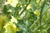 110508 菜の花の蝶