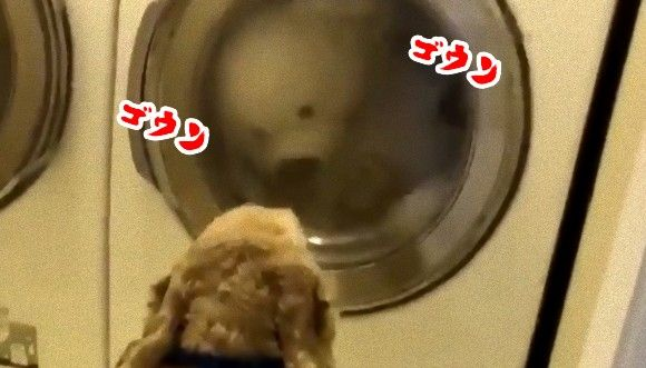 「大丈夫?目が回らないかしら?」 大親友のテディベア(ぬいぐるみ)が洗濯機で回されているのを心配そうに見守る犬